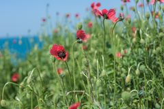 Papavero di rosso della natura del paesaggio Immagini Stock Libere da Diritti