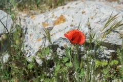 Papavero di rosso della natura del paesaggio Fotografia Stock