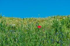 Papavero di rosso della natura del paesaggio Fotografie Stock