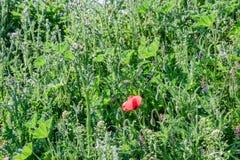 Papavero di rosso della natura del paesaggio Immagini Stock