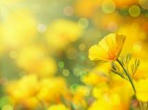 Papavero dorato della California Fotografie Stock