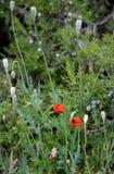 Papavero e ginepro rossi selvaggi di fioritura JunÃperus nell'erba di primavera Fotografie Stock