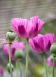 Papavero e seme del papavero piantato in gabbia d'acciaio Fotografia Stock Libera da Diritti