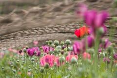 Papavero e seme del papavero piantato in gabbia d'acciaio fotografia stock