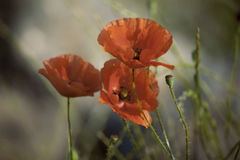 Papavero ed altri wildflowers Fotografia Stock