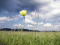 Papavero giallo contro un'immagine tempestosa della foto del cielo immagini stock