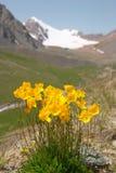 Papavero giallo della montagna fotografia stock