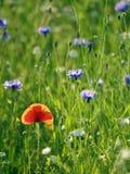 Papavero illuminato nel campo dei fiori selvaggi Fotografia Stock