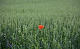Papavero nel giacimento di grano Fotografie Stock