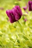 Papavero porpora Fotografia Stock