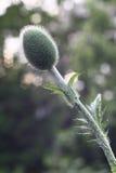 Papavero prima della fioritura Immagine Stock