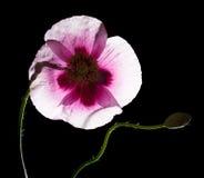 Papavero rosa Immagine Stock
