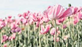 Papavero rosa che soffia nel vento immagini stock