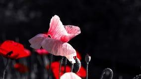 Papavero rosa Idillio del papavero Fucilazione di notte dei colori Fiori nella luce della luna Movimento lento di un atterraggio  video d archivio