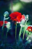 Papavero rosso Immagini Stock