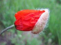 Papavero rosso che inizia a fiorire, la Lituania Immagine Stock