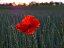 Papavero rosso nel campo di grano dalla luce di tramonto Fotografia Stock