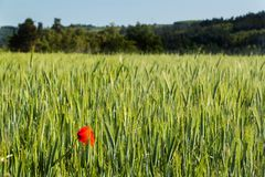 Papavero rosso nel campo verde Giorno di veterani Agricoltura del paesaggio Fotografia Stock
