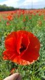 Papavero rosso. Primo piano di un papavero rosso Royalty Free Stock Image