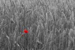 Papavero rosso su un fondo bianco nero fotografia stock libera da diritti