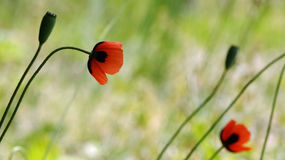 Papavero rosso su un fondo verde Rosso, tenero, aria, papavero animatore Fotografie Stock