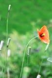 Papavero selvatico rosso Fotografia Stock Libera da Diritti