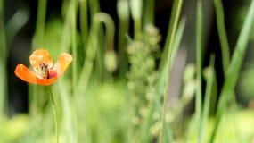 Papavero, un altro germoglio sul modo Rosso, tenero, aria, papavero animatore Fotografia Stock