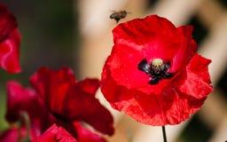 Papavero vicino su con un'ape fotografie stock