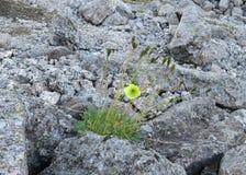 Papaverradicatum var chibinense Fotografering för Bildbyråer