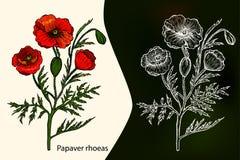Papaverrhoeas vallmo medicinal växt stock illustrationer