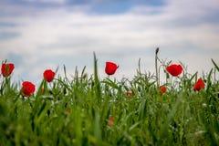 Papavers Een mooie bloeiende open plek van papavers Stock Fotografie