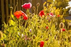 Papavers en andere bloemen in de zon Stock Afbeeldingen
