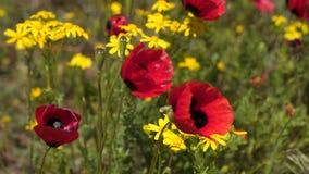Papavers en andere wildflowers in de wind stock video