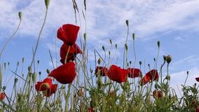 Papavers en blauwe hemel royalty-vrije stock fotografie