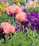 Papavers en Iris Stock Foto's