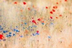 Papavers en korenbloemengebied stock afbeeldingen