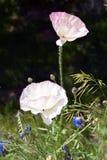 Papavers op Wildflower-Gebied Stock Afbeelding
