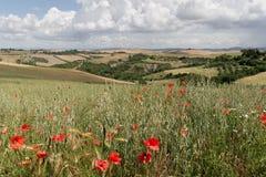 Papavers - Toscanië Royalty-vrije Stock Afbeelding