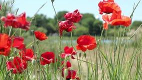 Papaversbloemen en Knoppen stock video