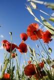 papavervallmorhoeas Royaltyfria Bilder