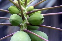 Papaya δέντρο που φορτώνεται με τα unripe φρούτα Στοκ Εικόνες