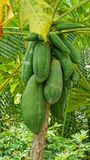 Papaya δέντρο στο δάσος Στοκ εικόνες με δικαίωμα ελεύθερης χρήσης