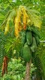 Papaya δέντρο στο Βιετνάμ Στοκ φωτογραφίες με δικαίωμα ελεύθερης χρήσης
