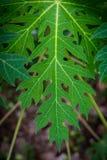 Papaya βεραμάν υπόβαθρο φύλλων της φύσης Στοκ Εικόνες