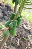 Papaya για την υγεία με πολλά οφέλη Στοκ εικόνες με δικαίωμα ελεύθερης χρήσης