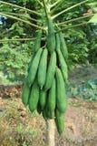 Papaya για την υγεία με πολλά οφέλη Στοκ Εικόνα