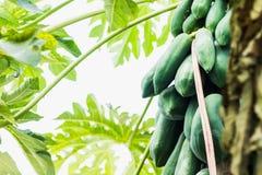 Papaya δέντρο στο τοπ βλαστό άποψης Στοκ εικόνες με δικαίωμα ελεύθερης χρήσης