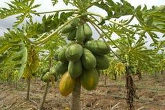 papaya δέντρο Στοκ εικόνα με δικαίωμα ελεύθερης χρήσης