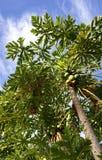 papaya δέντρο Στοκ Φωτογραφίες