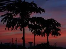 Papaya εγκαταστάσεις σε λεπτότερό τους στοκ εικόνα
